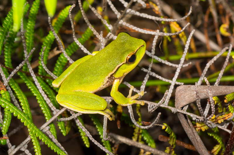 Leaf Green Tree Frog (Litoria phyllochroa) at Darkes Forest in New South Wales, Australia, January 2017. [Litoria phyllochroa 001 DarkesForest-NSW-Australia 2017-01]