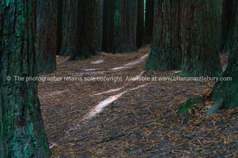 Rays of sunlight filter through huge trunks of surrounding Redwood forest trees