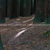 Rays of sunlight filter through huge trunks of surrounding Redwood forest trees