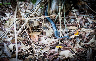 Red bellied Black snake, Queensland, Australia.
