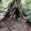 Tree at Mait's Rest, Otways NP