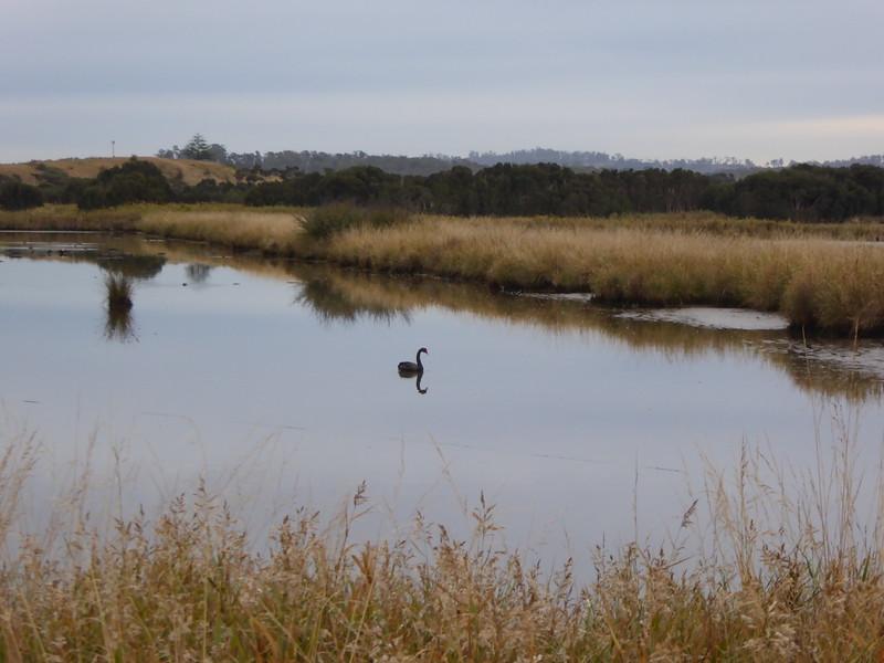 Cygnet at Tamar Wetlands