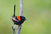 A male Red-backed Fairy-wren (Malurus melanocephalus) in Brisbane, Queensland, Australia, January 2017. [Malurus melanocephalus 001 Brisbane-Australia 2017-01]