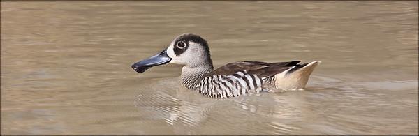 Pink Eared Duck, Western Queensland