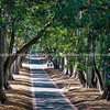 Straight path leading ahead between rows of Moreton Bay fig trees.