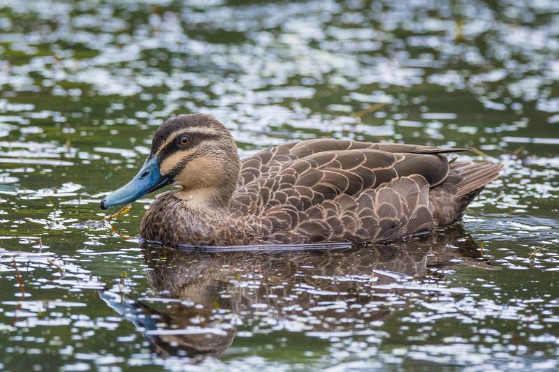 Grey Duck, Pacific Black Duck