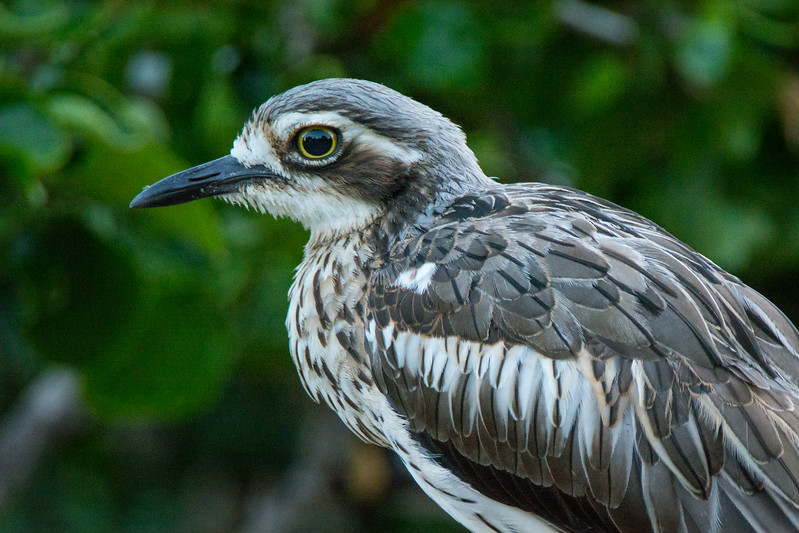 Head detail of a Bush Stone-Curlew, or Bush Thick-knee (Burhinus grallarius) at the Brisbane City Botanic Gardens, January 2017. [Burhinus grallarius 012 Brisbane-Qld-Australia 2017-01]