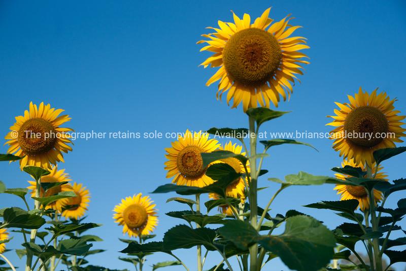 Sunflowers against blue sky.