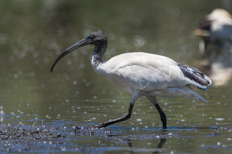 Australian White Ibis (Threskiornis molucca) in National Park, near Sydney, January 2017. [Threskiornis molucca 007 NP-NSW-Australia 2017-01]