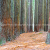 Redwood forest trees and effects.