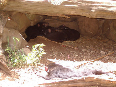 Tasmanian devil Family in burrow, one sun bathing.