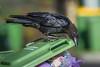An Australian Raven (Corvus coronoides) at Chirnside Park in Melbourne, January 2017. [Corvus coronoides 001 Melbourne-Australia 2017-01]