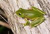 Leaf Green Tree Frog (Litoria phyllochroa) at Darkes Forest in New South Wales, Australia, January 2017. [Litoria phyllochroa 005 DarkesForest-NSW-Australia 2017-01]