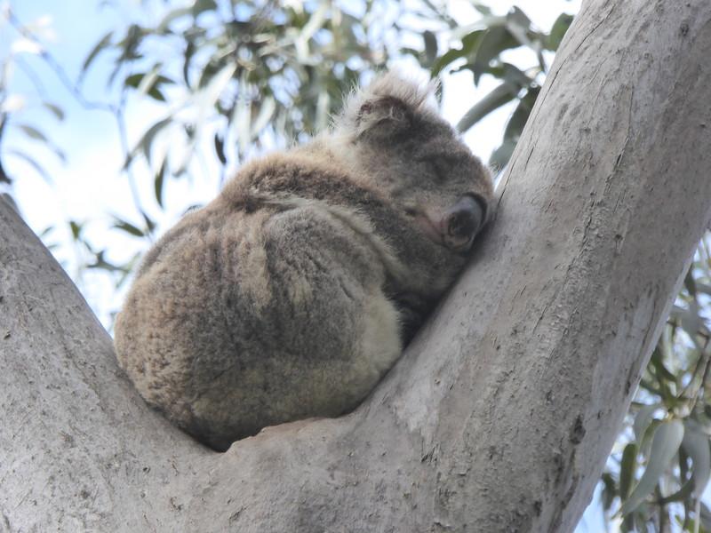 Koala on Grey River Rd, Kennet River, Great Ocean Road