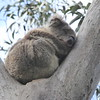 Koala on Grey River Rd, Kennet River, Great Ocean Road
