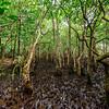 Mongroves. Daintree Rainforest. Port Douglas, Australia