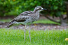 A Bush Stone-Curlew, or Bush Thick-knee (Burhinus grallarius) at the Brisbane City Botanic Gardens, January 2017. [Burhinus grallarius 001 Brisbane-Qld-Australia 2017-01]