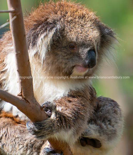 Koala bear in tree.