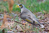A Noisy Miner (Manorina melanocephala) of the southern subspecies at Chirnside Park, Melbourne, January 2017. [Manorina melanocephala melanocephala 005 Melbourne-Australia 2017-01]
