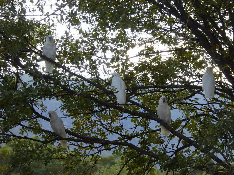 Cockatoos at neighbors cabin, Hall's Gap