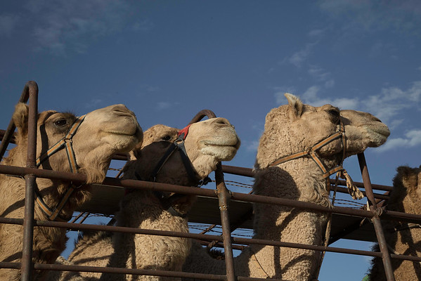 Camels at Mungerannie on their way to be working animals for trek's near Boulia in Queensland