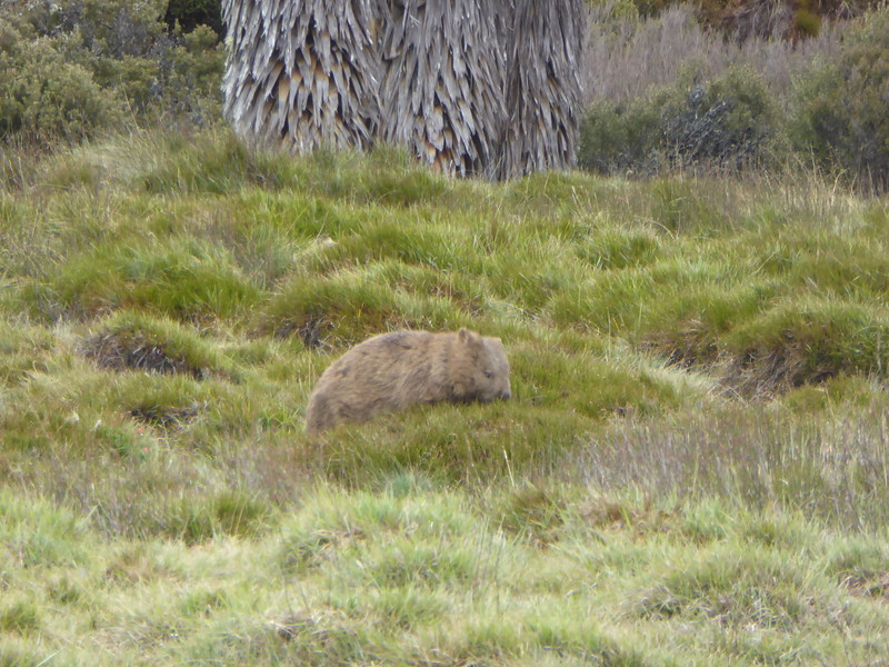 Wombat seen on Overland Track, Cradle Mountain