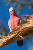 A Galah, also known as the Rose-breasted Cockatoo or the Roseate Cockatoo (Eolophus roseicapilla) at Tahlee, New South Wales, Australia, January 2017. [Eolophus roseicapilla 018 Tahlee-NSW-Australia 2017-01]