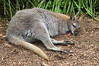 Brush-Tailed Rock-Wallaby (Petrogale penicillata) - at the Healesville Sanctuary in the Yarra Valley northeast of Melbourne.