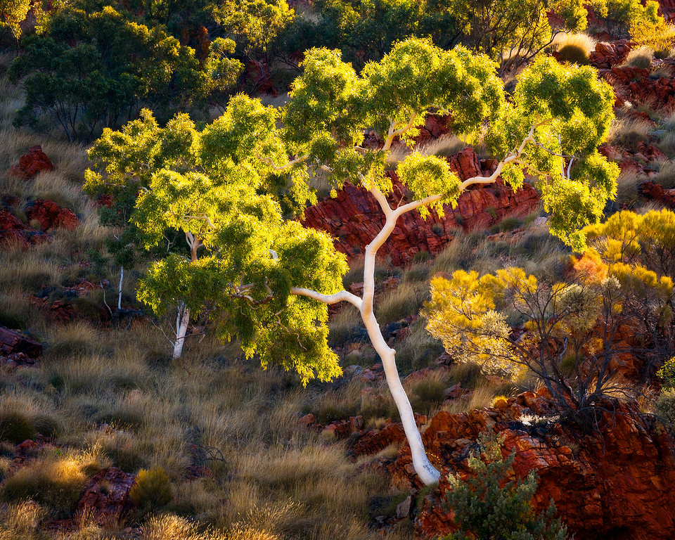 © Douglas Remington - Ethereal Light Photography, LLC. All Rights Reserved. Do not copy or download.<br /> <br /> A ghost gum Eucalyptus hangs on to side of cliff, West MacDonnell range, Australia