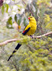 REGENT PARROT (Polytelis anthopeplus) - at the Healesville Sanctuary in the Yarra Valley northeast of Melbourne.