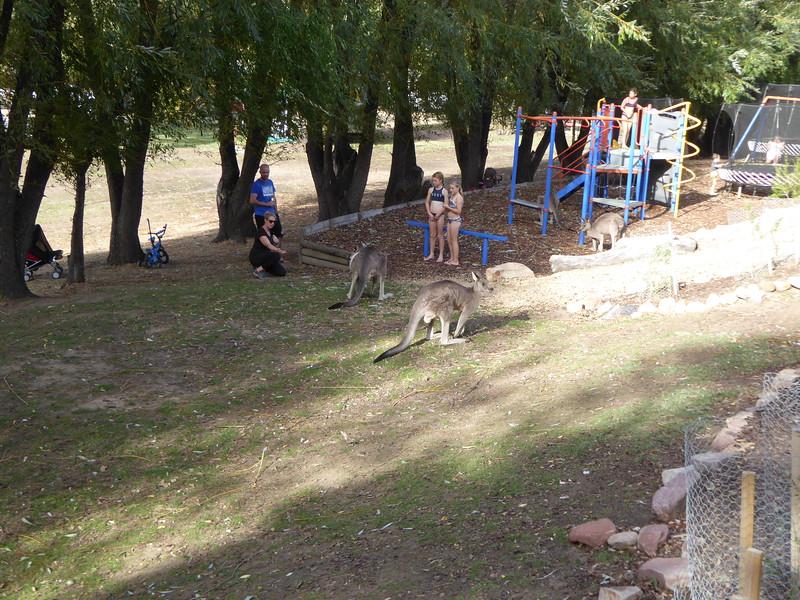 Kangaroos and kids - no worries!  Halls Gap