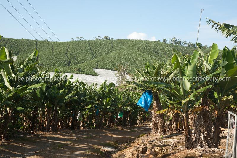 Banana plantation, Woolgoolga district, Australia.