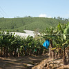 Banana plantation, Woolgoolga district, Australia.