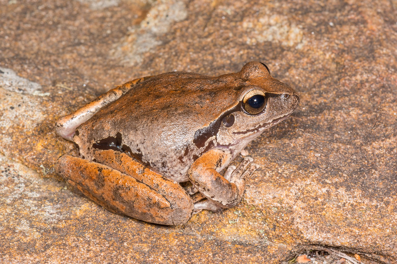 Lesueur's Tree Frog, also called the Rocky River Frog and the Stony Creek Frog (Litoria lesueurii) at a shallow, rocky creek at Darke's Forest south of Sydney, NSW, January 2017. [Litoria lesueurii 002 DarkesForest-NSW-Australia 2017-01]