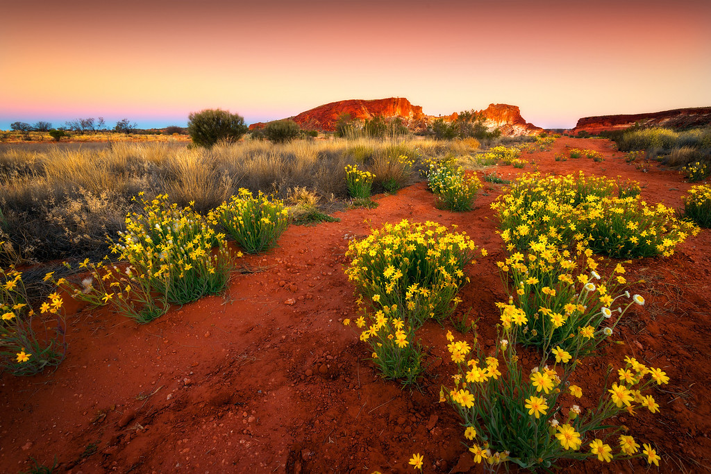 Wildflowers dance in the desert light of Rainbow Valley, Red Center, Australia.<br /> <br /> © Douglas Remington - Ethereal Light® Photography, LLC. All Rights Reserved. Do not copy or download.