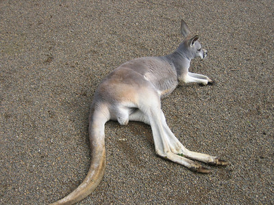 Sand and Kangaroo - Australia
