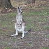 Young Kangaroo, Lakeside Tourist Park, Halls Gap, Grampians