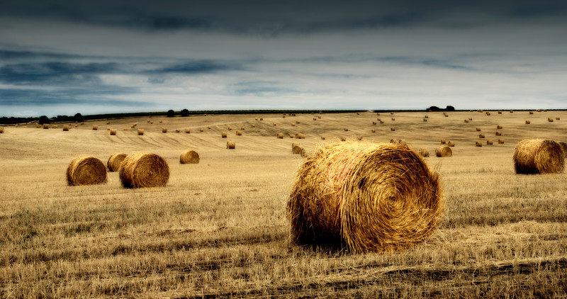 A field of straw in Willunga, gathered into multiple bales of hay.