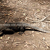 Goanna, Australia Lace Monitor lizard.