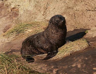 Antarctic Seal Pup