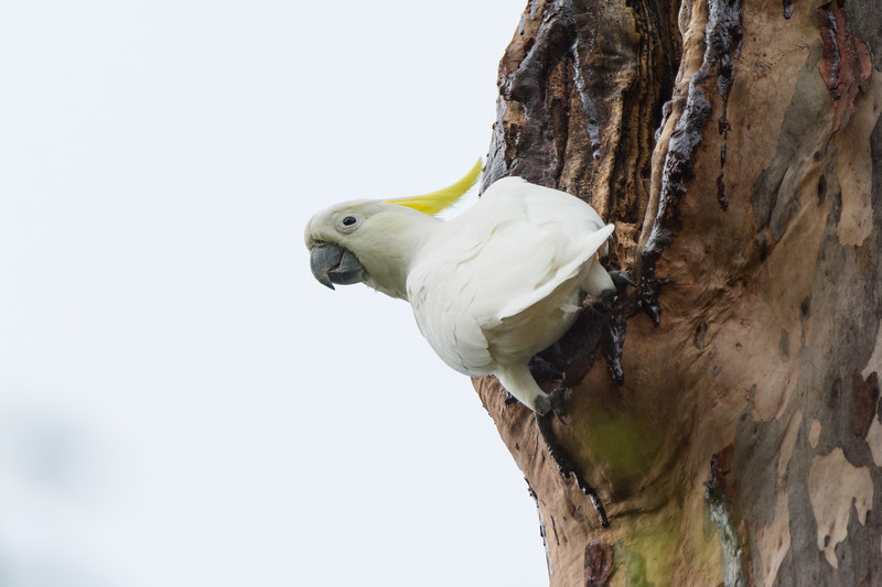 Greater Sulphur-crested Cockatoo (Cacatua galerita galerita) in Brisbane, January 2017. [Cacatua galerita galerita 004 Brisbane-Australia 2017-01]