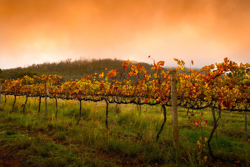 Autumn sunrise at the vinyard. Near Stirling Range, Western Australia.<br /> <br /> © Douglas Remington - Ethereal Light® Photography, LLC. All Rights Reserved. Do not copy or download