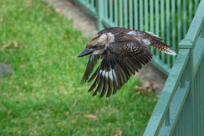 Laughing Kookaburra (Dacelo novaeguineae) checking out a backyard swimming pool, in Cronulla, NSW, January 2017. [Dacelo novaeguineae 024 Tahlee-NSW-Australia 2017-01]