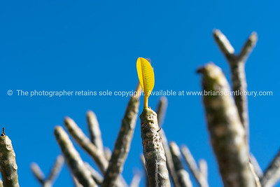 Small bright yellow new leaf growing from end of frangipanibranch.