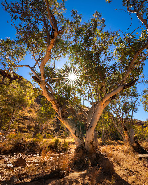© Douglas Remington - Ethereal Light Photography, LLC. All Rights Reserved. Do not copy or download.<br /> <br /> The bee tree. Ghost gum eucalyptus and sunstar, Redbank gorge, Australia.