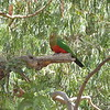 Parrot at Kennett River, Great Ocean Road