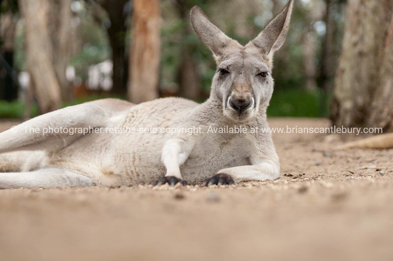 Red Kangaroo, Australia