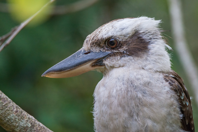 Head detail of a Laughing Kookaburra (Dacelo novaeguineae) at Tahlee, NSW, January 2017. [Dacelo novaeguineae 008 Tahlee-NSW-Australia 2017-01]