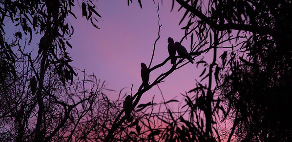 Galahs silohetted in the sunset. Mungerannie, Birdsville Track South Australia