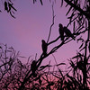 Galahs silohetted in the sunset. Mungerannie, Birdsville Track South Australia